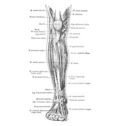 Anterior view of the superficial muscles of the vector