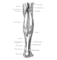 Posterior view of the superficial muscles of the vector