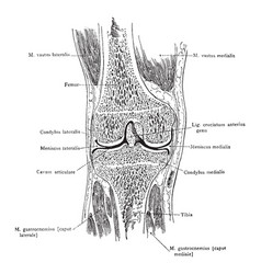 Median frontal section through knee vintage vector