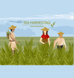 Asian people harvesting tea with basket vector
