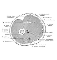 Cross section through middle third thigh vector