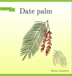 Date palm phoenix dactylifera leaf and fruits vector
