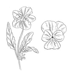 Pansy flower ink sketch on white background vector