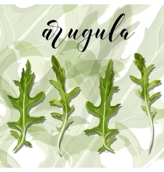 Set Of Salad arugula on a colourful vector image
