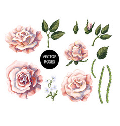 set of tea roses their buds and leaves vector image