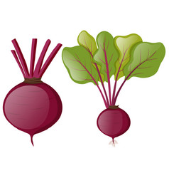 beetroots with green leaves vector image