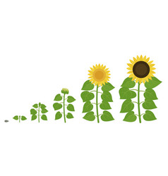 Sunflower growth stages agriculture plant vector