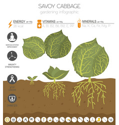 Cabbage beneficial features graphic template vector