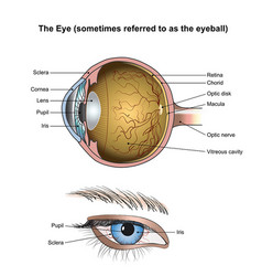 the eye vector image