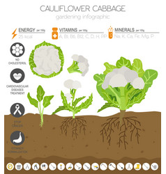 Cauliflower cabbage beneficial features graphic vector