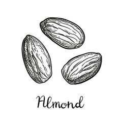 Ink sketch of almond vector