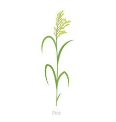 Rice plant oryza glaberrima oryza sativa vector