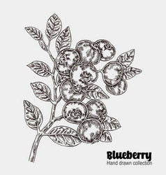 sketchy blueberry branch hand drawn berries vector image