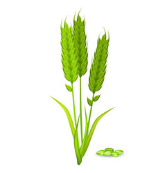 Millet ears and grain pile in green color on white vector