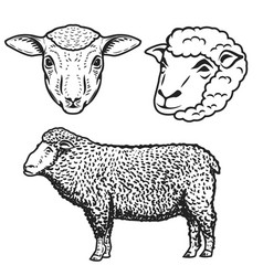 set of the sheep isolated on white background vector image