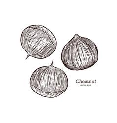 chestnut drawing engraving ink line art vector image