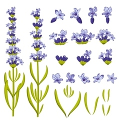 Lavender flowers constructor vector