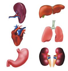 realistic detailed 3d human internal organs set vector image