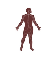 Male Human Anatomy Nervous System vector image vector image