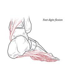 Medical foot digits flexion muscles acting vector