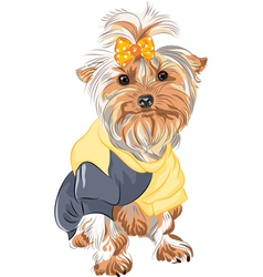 Pedigreed dog Yorkshire vector