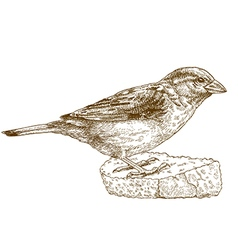 engraving sparrow vector image