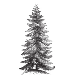 Norway Spruce vintage engraving vector image vector image