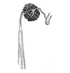 Malpighian vintage engraving vector image vector image