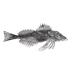 Common Sea Robin or Prionotus carolinus vintage vector image vector image