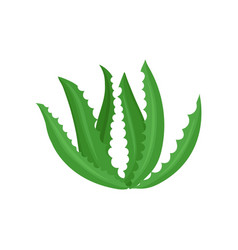 aloe vera plant on a white vector image