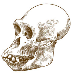 Engraving drawing anthropoid ape skull vector