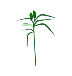 Fresh Sesame Plant on A White Background vector image