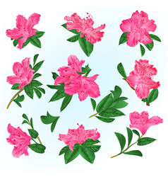 Pink flowers rhododendrons and leaves vector
