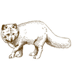 Engraving drawing of arctic fox vector