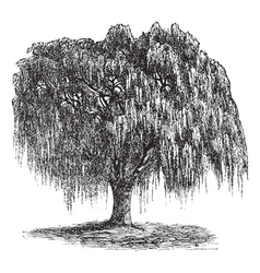 Babylon Willow vintage engraving vector image vector image