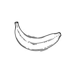 banana tropical fruit health nutrition illu vector image