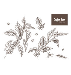 Bundle of elegant botanical drawings of coffea or vector