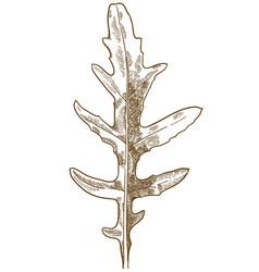 Engraving of arugula wild rocky vector