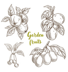 Garden fruits apples apricots cherries plums vector