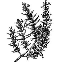 plant rosmarinus vector image