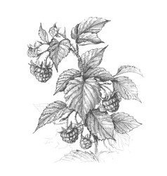 Raspberry branch pencil drawing vector