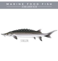 Sturgeon Marine Food Fish vector