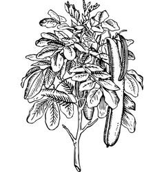 plant ceratonia siliqua vector image vector image