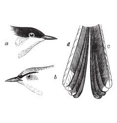 Black capped gnat catcher vintage vector