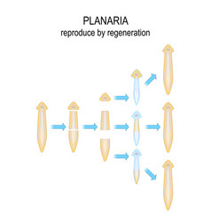 Planaria reproduce regeneration vector