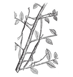 Stick insect vintage vector