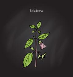 Atropa belladonna or deadly nightshade vector
