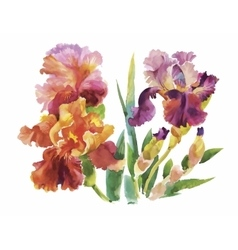 Flower of iris drawing by watercolor hand drawn vector image