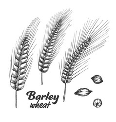 designed barley wheat spike and seed set vector image