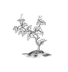 plant with leaves engraving decorative grape tree vector image